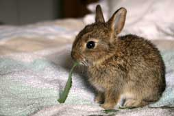 Prendre soin d 39 un lapereau de garenne orphelin ou bless - Cuisiner le lapin de garenne ...