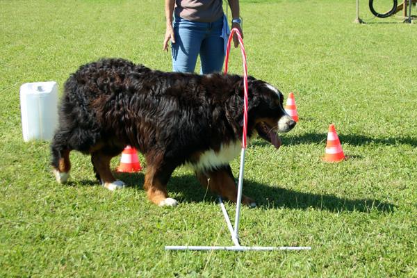 Hooper chien dysplasie