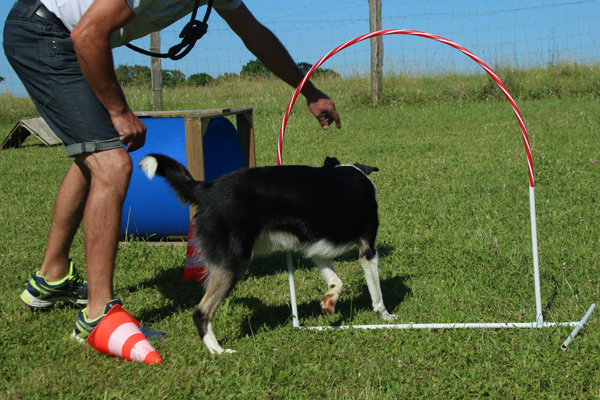 Hooper chien de troupeau