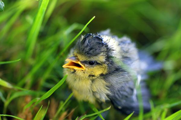 Bébé mésange bleue