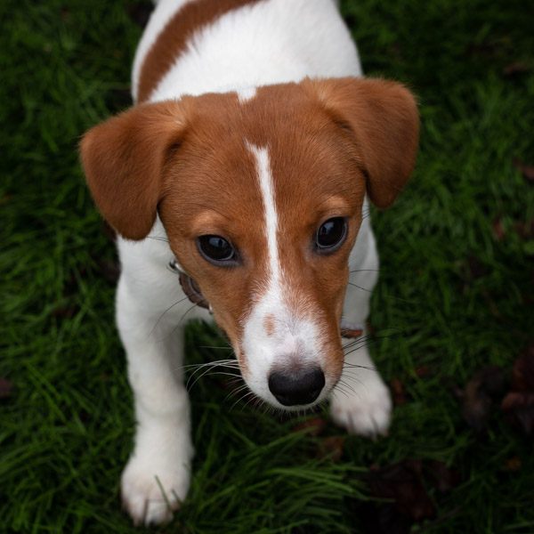 Olga chiot Jack Russell