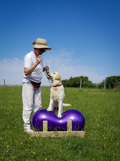 Labrador en confiance