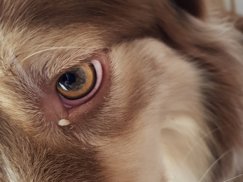 Oeil de chien