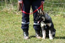 croise-malinois-berger-allemand